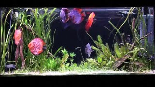 Download How to Set Up a Discus Aquarium (Filtration, Water Chemistry, and More) Video