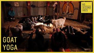 Download Goat Yoga // 60 Second Docs Video