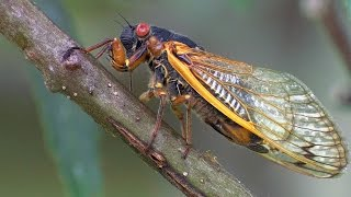 Download 17 Year Periodical Cicadas - Planet Earth - BBC Earth Video