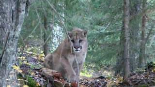 Download cougar encounter Video