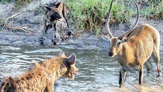 Download Hyenas Steal Wild Dog Kill in Epic Battle - Twice! Video
