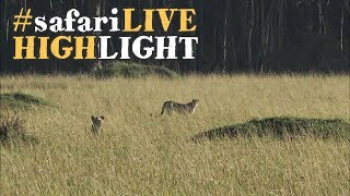 Download Lions give two cheetah a run for their money! Video