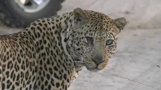 Download SafariLive June 17 - About Leopard Hukumuri's bad looking eye. Video