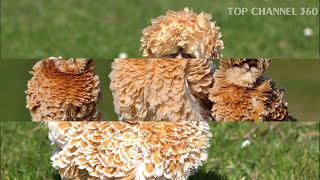Download Top 15 Weirdest Chicken Breeds Video