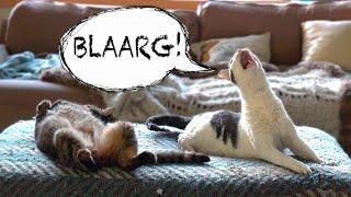 Download WEIRD CAT MEOW Video