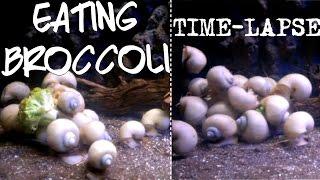 Download apple snails vs broccoli time lapse! Video