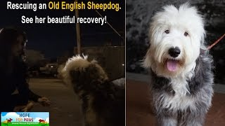 Download Rescuing an Old English Sheepdog near the railroad tracks. Please share. Video