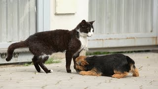 Download Cats Meeting Puppies for the First Time Compilation 2015 Video