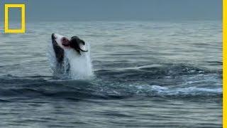 Download Ce requin dévore une otarie et déclenche l'assaut de toute sa colonie Video