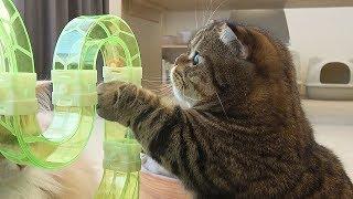 Download 솜방망이 같은 짧은 앞발로 벌레 잡는 고양이 Video