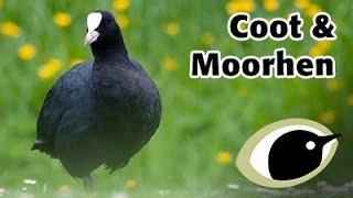 Download BTO Bird ID - Coot & Moorhen Video