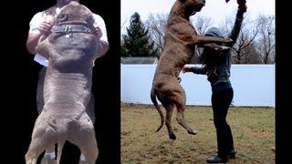 Download World's Largest Blue Bully Pitbull Service Dog visits Venice Beach! Video