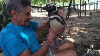 Download Penguin Always Returns From the Sea to Visit Man Who Saved Its Life Video