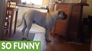 Download Mastiff watches lions on TV, attempts to make contact Video