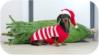 Download How to choose Christmas tree? Cute & funny dachshund dog video! Video