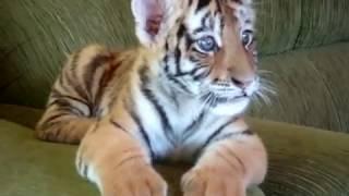 Download Tiger cub playing with a dog - II (Tigrinho brincando com cão) Video