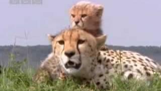 Download Cute baby cheetah cubs in danger - BBC wildlife Video