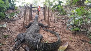 Download Creative Man Make Primitive Komodo Dragon Trap Using Spanish Windlass Trap To Catch And Attack With Video