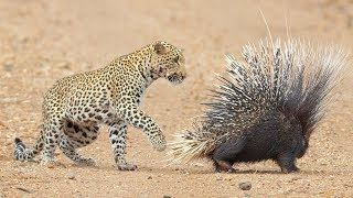 Download Leopard Takes On And Fights Porcupine Video