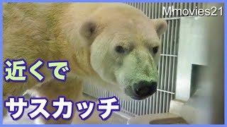 Download 昼寝から目覚めたホッキョクグマ サスカッチに接近 Polar Bear Video