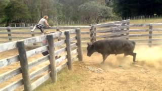 Download Mangatoi Station, Cattle muster & bull catching. Video