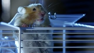 Download Hamster's great escape | Pets - Wild at Heart: Episode 2 preview | BBC One Video