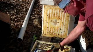 Download My Bees are preparing to swarm. Beekeeper takes action Video