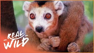Download Crowned Lemurs And The Crocodile Caves [Survival Documentary] | Wild Things Video