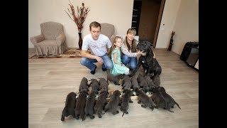 Download В Воронеже собака породы кане-корсо родила 19 щенков Video