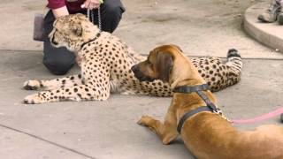 Download Cheetah Run with Ruuxa @ San Diego Zoo Safari Park Video