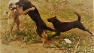 Download While dogs were fighting look what happened!!! Video