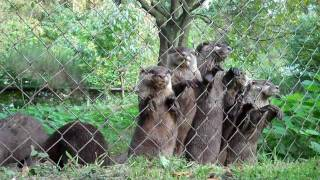 Download Funny cute baby otters Video