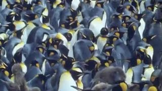 Download King penguins | Attenborough: Life in the Freezer | BBC Video