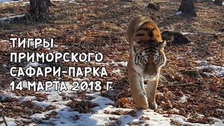 Download ТИГРЫ ПРИМОРСКОГО САФАРИ-ПАРКА 14 МАРТА 2018 Г. Video
