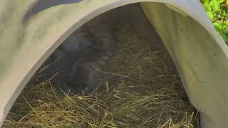 Download Bobcat Rehab and Release Cam 11-20-2017 12:00:11 - 13:00:12 Video