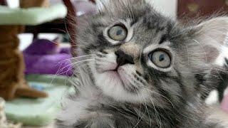 Download Kitten Close Up 2017-11-18 Video