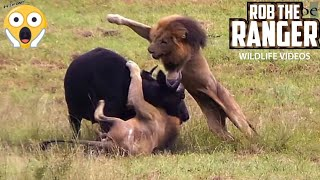Download Male Lions Ambush Buffalo! Unbelievable! (Epic Lion vs Buffalo Action Highlights!) Video