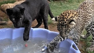 Download Black Spotted Leopard Cub Pool Party | African Big Cats Cool Off & Dunk For Toys In A Childs Pool Video