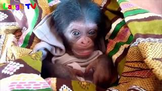 Download Funny Monkey Compilation 2017 - Funny Monkey Videos (Try not to laugh) - Cute Monkeys / Baby Monkeys Video
