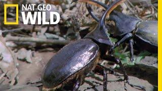 Download Hercules Beetle Battle | Wild Costa Rica Video