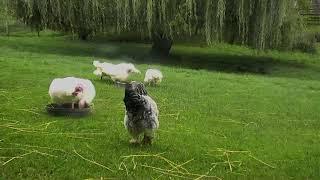 Download Turkey Barn Cam 09-22-2018 04:59:05 - 05:59:06 Video