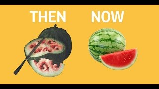 Download What fruits and vegetables looked like before we domesticated them Video