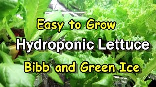 Download Easy to Grow Bibb and Green Ice Hydroponic Lettuce Using the Kratky Method Video