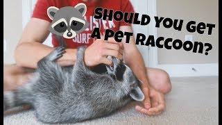 Download Should You Get a Pet Raccoon? Video
