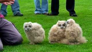 Download Baby Eagle Owls Video