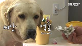 Download Their father is a different dog..? The secret of the birth of five retrievers Video