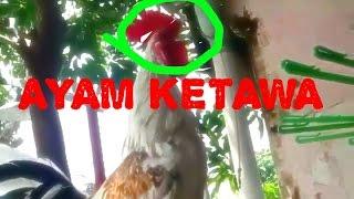 Download Suara Lucu dan Unik Ayam Ketawa :-D Video