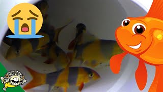 Download It was a LONG Day. Snow Storm Kills some Clown Loaches :( Video