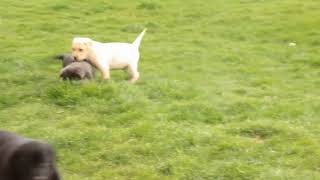 Download Labrador Retriever Puppies For Sale Ben Beiler Video