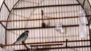 Download COLEIRO TUI TUI PURO Cantando sem parar Video